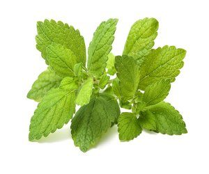 Lemon balm. Fresh green leaf of melissa over white